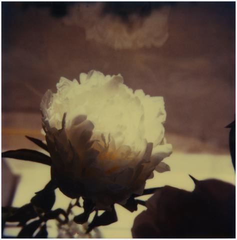 Tree-peony, 1980